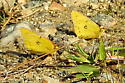 Butterfly006 - Colias eurytheme - male
