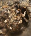 Weevil   - Lechriops oculatus