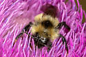 bumble bee - Bombus - female