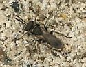 Tiny Wasp? - Plenoculus davisi - female