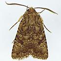 105 - Protorthodes alfkenii - male