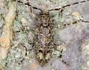 Longhorn Beetle - Astyleiopus variegatus