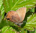Brown Elfin - Callophrys augustinus - female