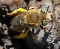 Anthophora (Heliophila) - Anthophora - female