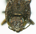 Agrilus waltersi Nelson - Agrilus waltersi - female
