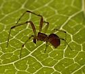 spider - Anelosimus studiosus
