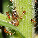 Tending Ants - Dorymyrmex bureni