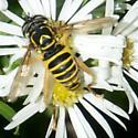 Bee - Spilomyia longicornis