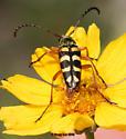Typocerus sinuatus