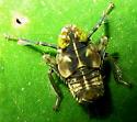 Leafhopper nymph - Coelidia olitoria
