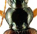 Bembidion (Peryphus) tetracolum Say, 1823 - Bembidion tetracolum