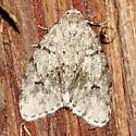 Moth - Clemensia umbrata