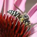 Cuckoo-leaf-cutter Bee - Coelioxys