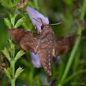 Moth, Possibly Shhinx, ID please - Enyo lugubris
