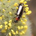 Soldier Beetle? - Orsodacne atra