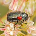 Tiny, pretty beetle - Saxinis saucia