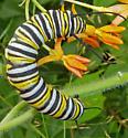 Monarch larva - Danaus plexippus