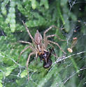 Funnel-web Spider with Carpenter Ant
