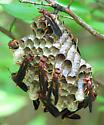 Polistes Annularis Nest - Polistes annularis