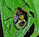 Chinavia hilaris - Green Stink Bug, 5th Instar? - Chinavia hilaris