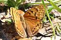orange butterfly - Asterocampa clyton