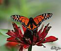 Oddly marked Monarch Butterfly???  Pocomoke, MD @ a Monarch Waystation, midday - Danaus plexippus