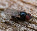 small black shiny fly on stump - Lonchaea