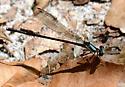 Blue-tipped Dancer - Argia tibialis - female