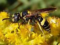 small wasp - Philanthus gibbosus