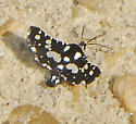Thyris sepulchralis – Mournful Thyris Moth - Thyris sepulchralis