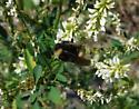Bombus pensylvanicus? - Bombus terricola - female