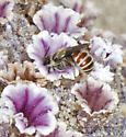Tiny Bee on flowers of Sand Food - Ashmeadiella - female