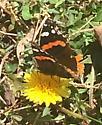 Butterfly By Dominic N. - Vanessa atalanta