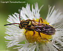 cuckoo bee? - Nomada - female