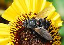 Flower-visiting fly seeks ID - Peleteria