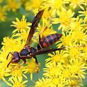 what wasp Pruyn Audubon Sanctuary native garden - Polistes fuscatus - female