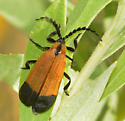 End-banded Netwing - Calopteron reticulatum