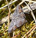 Moth to identify - Zale