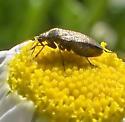 Brown plant bug - Lepidargyrus ancorifer