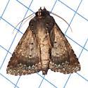 Hodges#8662 - Coxina cinctipalpis