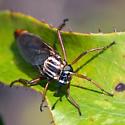 Mydas Fly #1? - Nemomydas melanopogon - female