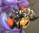 Bee attacked by megachilid - Bombus nevadensis