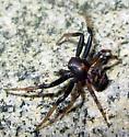 Crab Spider - Xysticus fraternus - male