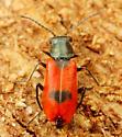 Coleoptera - Anthocomus equestris