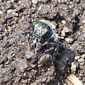 Little green bee - Osmia