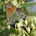 Callophrys gryneus (Hübner) - Callophrys gryneus