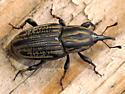 Sphenophorus australis