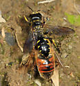 wasp with syrphid fly prey - Ectemnius maculosus - female
