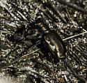 Festive Tiger Beetle (Cicindela scutellaris ssp. lecontei) - Cicindela scutellaris