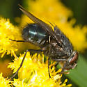 Blue Fly - Calliphora vomitoria